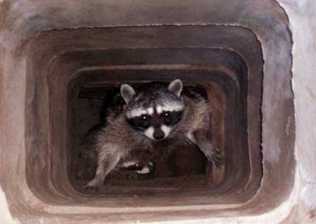raccoons in chimney