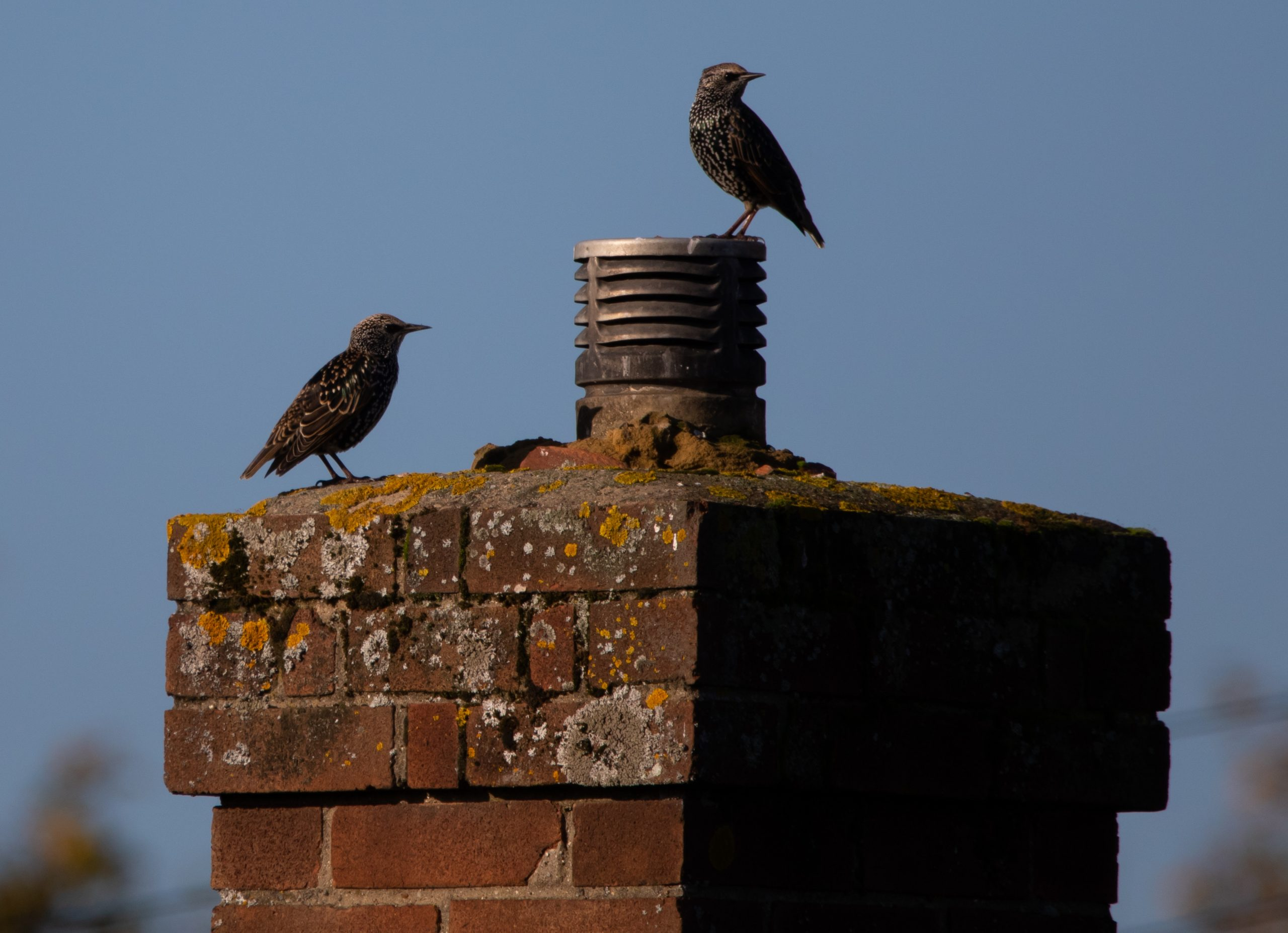 Chimney Birds AnimalsOut