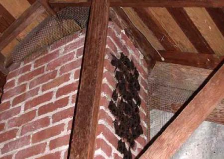 bats on chimney