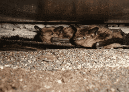 two bats in chimney