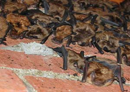 colony of bats in chimney