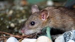mouse/rat