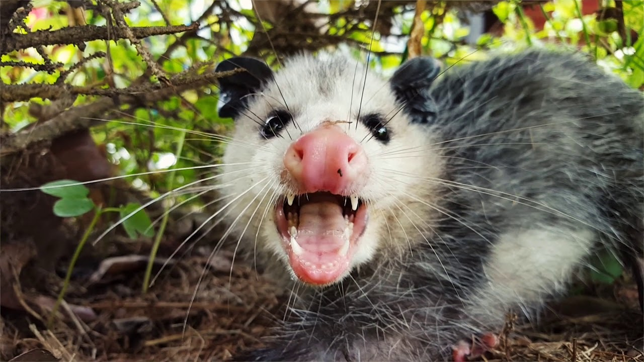 wild opossum in wooded area